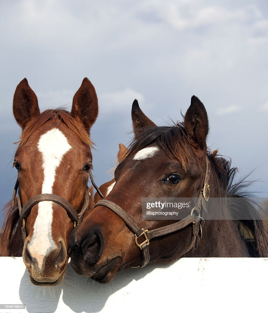 Thoroughbred Racehorses : Stock Photo