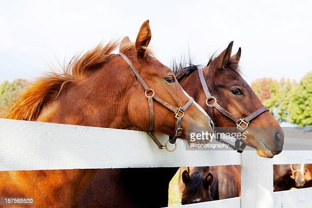 thoroughbred racehorses - thoroughbred horse stock photos and pictures