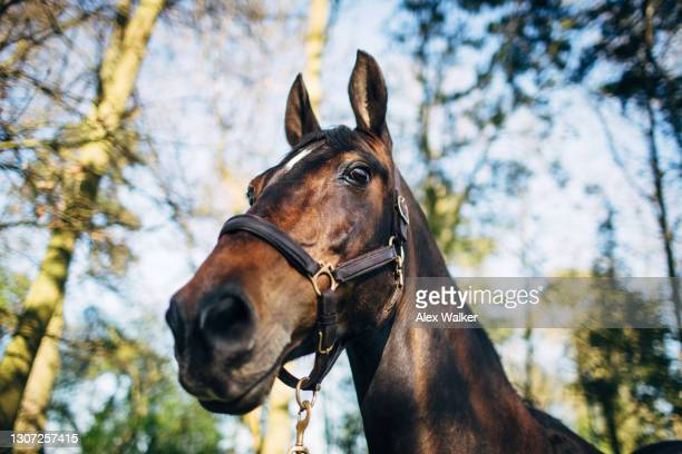 thoroughbred stallion horse in woodland - horse stock pictures, royalty-free photos & images