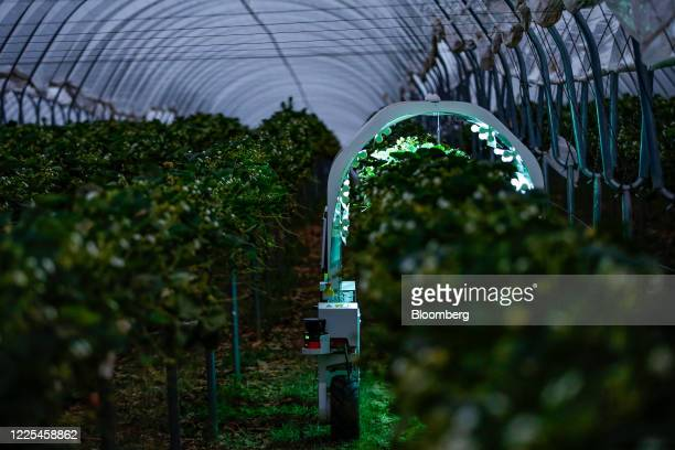 A Thorvald autonomous modular robot developed by Saga Robotics completes an UltraViolet light treatment on a crop of strawberries during robotics...