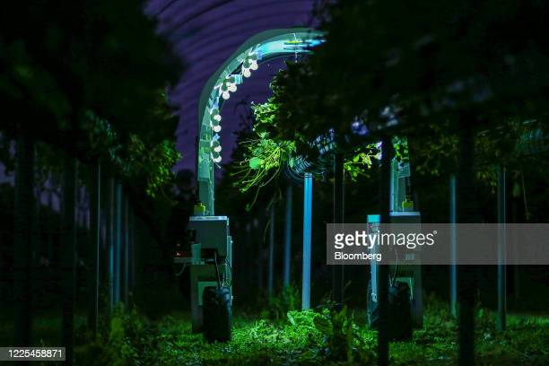 A Thorvald autonomous modular robot developed by Saga Robotics performs an UltraViolet light treatment on a crop of strawberries during robotics...