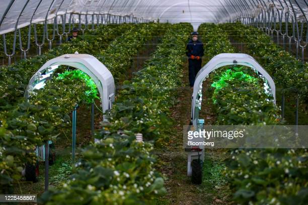 Thorvald autonomous modular robots developed by Saga Robotics complete an UltraViolet light treatment on a crop of strawberries during robotics...