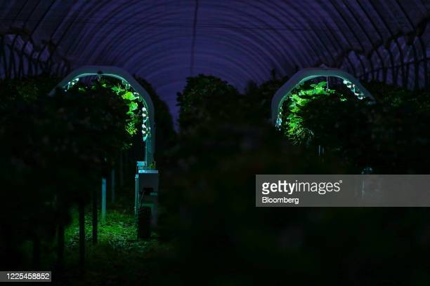 Thorvald autonomous modular robots developed by Saga Robotics perform an UltraViolet light treatment on a crop of strawberries during robotics trials...