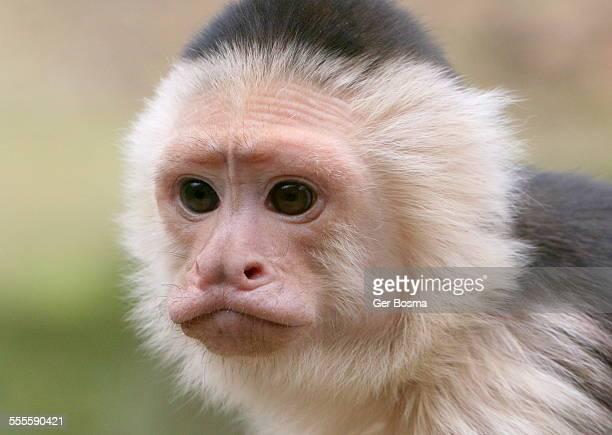 thoughtful capuchin monkey - mono capuchino fotografías e imágenes de stock