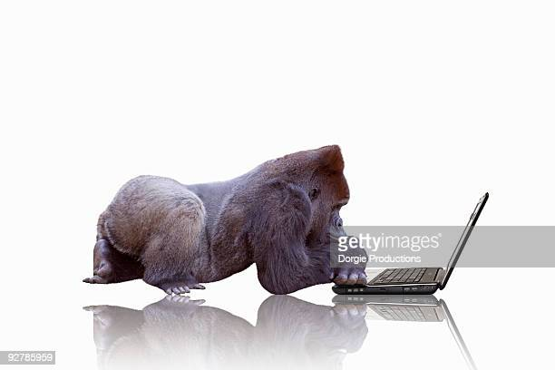 thoughtful gorilla working on laptop - gorilla stock pictures, royalty-free photos & images