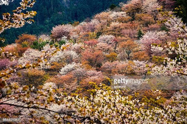 Thousand Cherry Blossom Trees on Mt. Yoshino