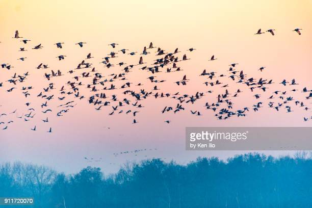 thousand cranes - ken ilio stock pictures, royalty-free photos & images