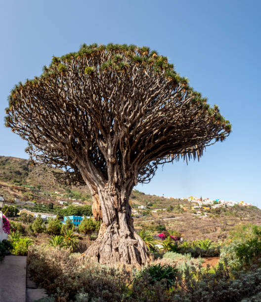Thousand years old Canarian dragon tree (Dracaena draco), Drago Milenario, Icod de los Vinos, Tenerife, Canary Islands, Spain