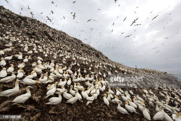 Thousands of gannets nest and swirl above Bass Rock on September 12, 2019 in Dunbar, Scotland. The 107m high slab of volcanic rock off the coast of...