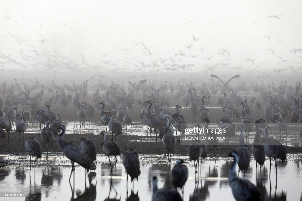 ISR: Some 50,000 Gray Cranes stayed during the winter in the Agamon Hula Lake instead of migrating to Africa
