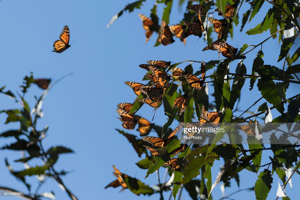 Thousands Of Monarch Butterflies Cluster On Eucalyptus Tree Limbs At  Ardenwood Historic Farm In Fremont,