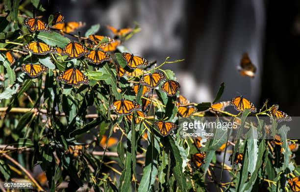 Thousands of monarch butterflies gather in the eucalyptus trees at the Pismo State Beach Monarch Butterfly Grove as viewed on January 17 in Pismo...