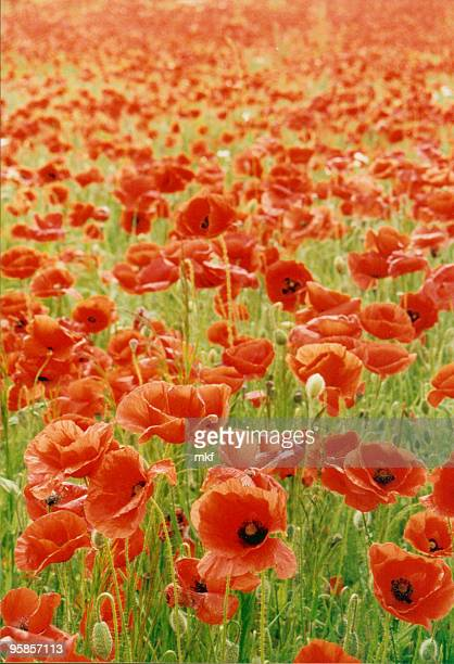 thousands of poppies - memorial day background stock pictures, royalty-free photos & images