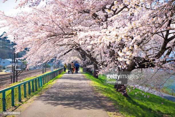 Thousands of Sakura Trees along Shiroishi Riverside in Spring Cherry Blossom Season, Funaoka, Sendai, Japan