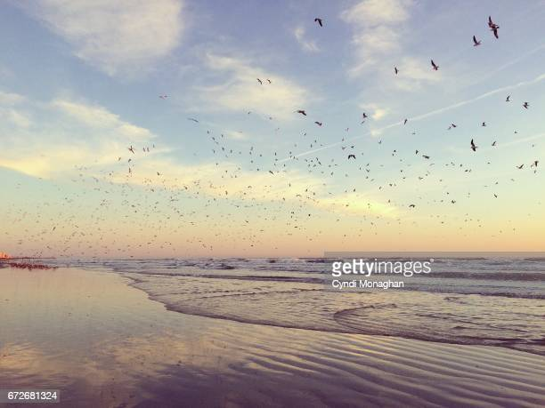 Thousands of Seagulls at Sunrise
