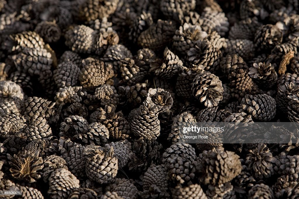 Thousands Of Tiny Pine Cones Are Used As Mulch In The Garden At