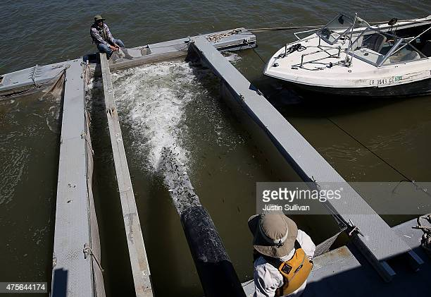Thousands of young fingerling Chinook salmon are released into a holding pen in the San Pablo Bay on June 2 2015 in Rodeo California As California...