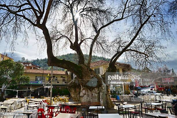 thoushand year old plane tree in kaynaklar - emreturanphoto stock-fotos und bilder