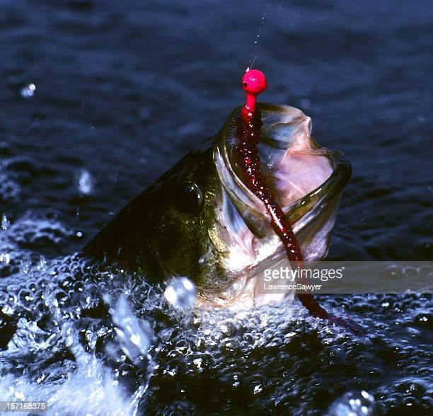 thrashing largemouth bass - largemouth bass stock pictures, royalty-free photos & images