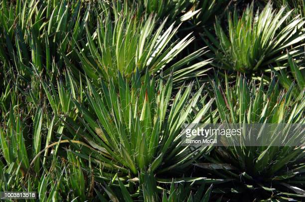 thread agave (agave filifera), also commonly known as thread-leaf agave or hairy agave - hairy bush stock pictures, royalty-free photos & images