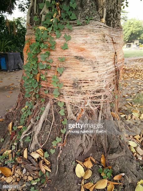 Thread Rolled Up Of Banyan Tree
