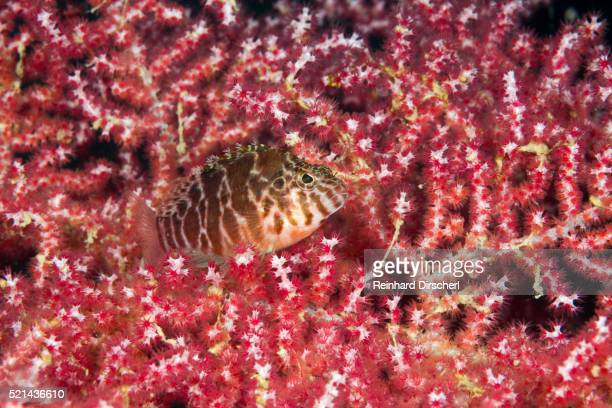 threadfin hawkfish, indonesia - hawkfish stock pictures, royalty-free photos & images