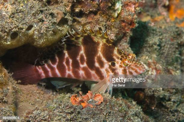 threadfin hawkfish - hawkfish stock pictures, royalty-free photos & images