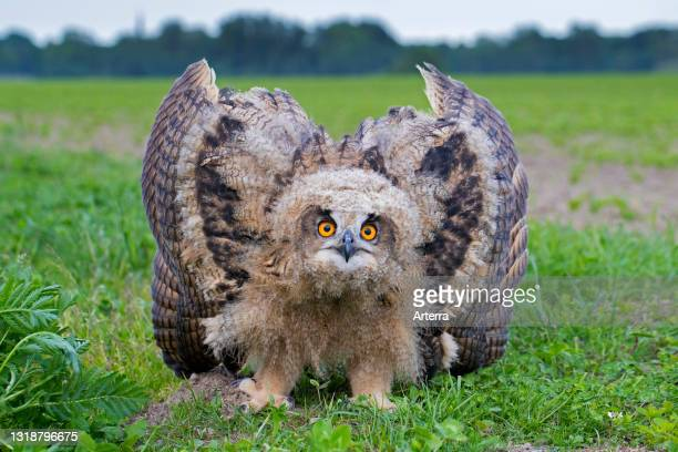 Threat display by Eurasian eagle-owl / young European eagle-owl owlet showing lowered head and wings spread out and pointing down.