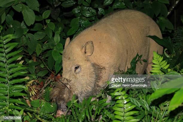 Threatened Bornean bearded pig, Sus barbatus, foraging in the rainforest understory