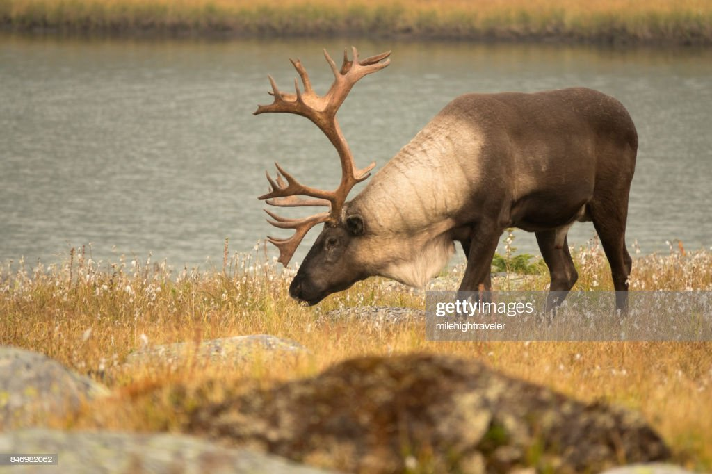 Threatened mountain caribou Tonquin Valley Jasper National Park Alberta Canada : Stock Photo
