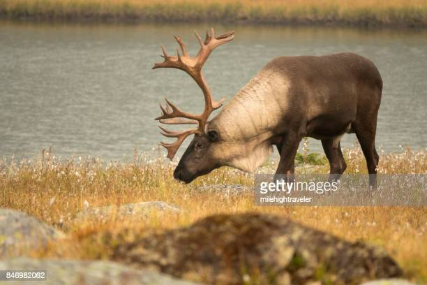threatened mountain caribou tonquin valley jasper national park alberta canada - renna foto e immagini stock
