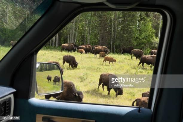 Threatened Nordquist Wood Bison herd along Alaska Highway northern British Columbia Canada