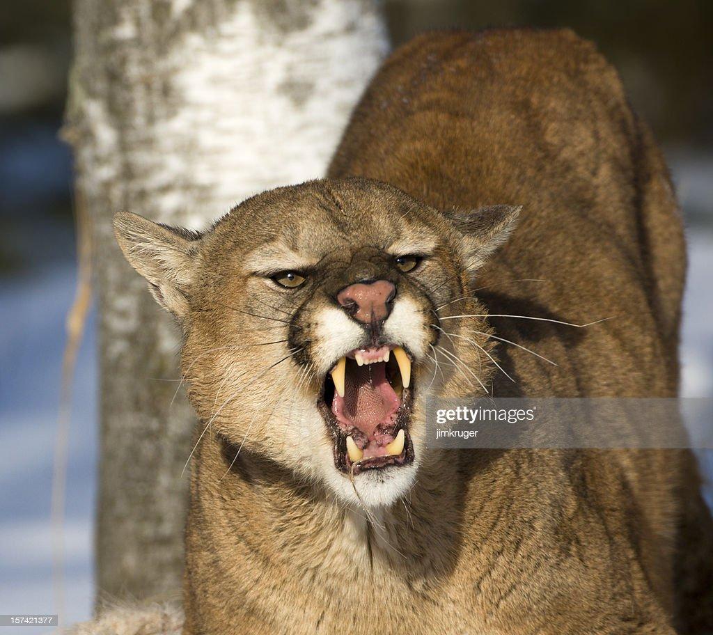 Threatening and powerful mountain lion. : Stock Photo