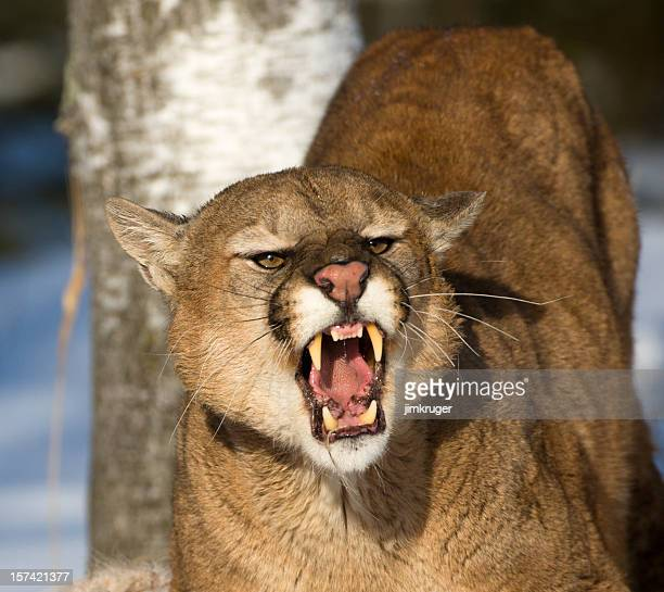 Threatening and powerful mountain lion.