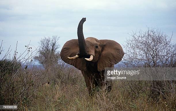 Threatening elephant