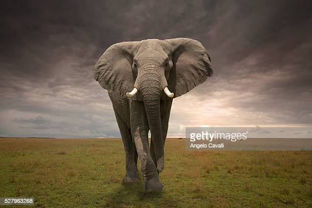threatening male elephant - elephant stock pictures, royalty-free photos & images