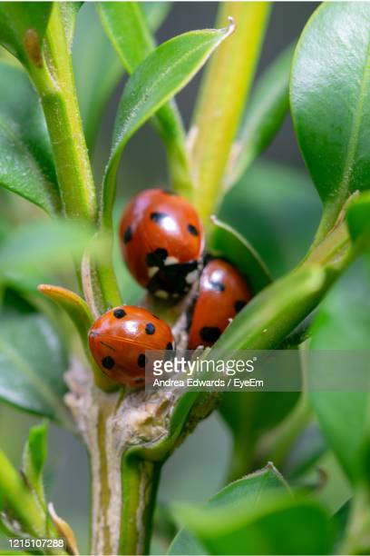 three 7 spotted, coccinella septempunctata, ladybirds grouped together near branch stem - st. albans stock pictures, royalty-free photos & images