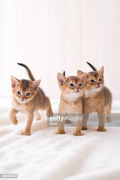 Three Abyssinian standing