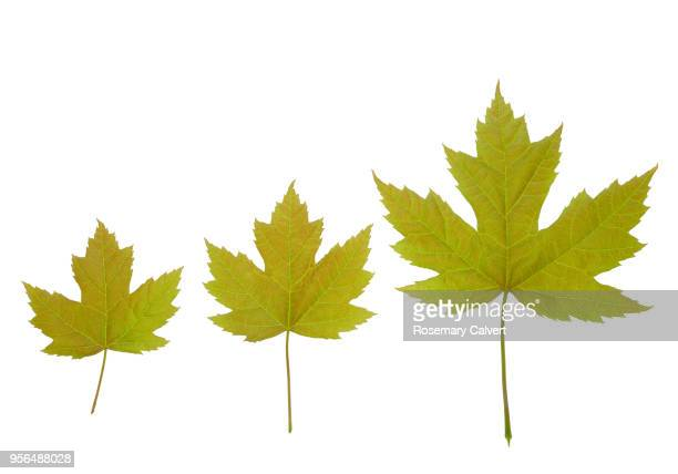Three Acer X Freemandii Autumn Blaze Leaves In Row Stock Photo