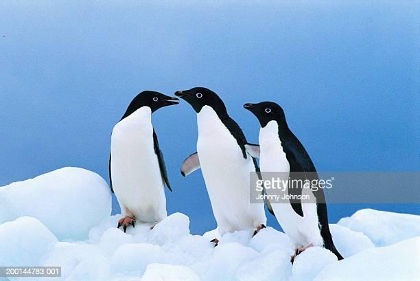 three adelie penguins (pygoscelis adeliae) standing on ice - 三匹 ストックフォトと画像