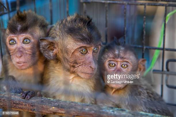 three afraid monkeys trapped on a cage - trafficking stock pictures, royalty-free photos & images