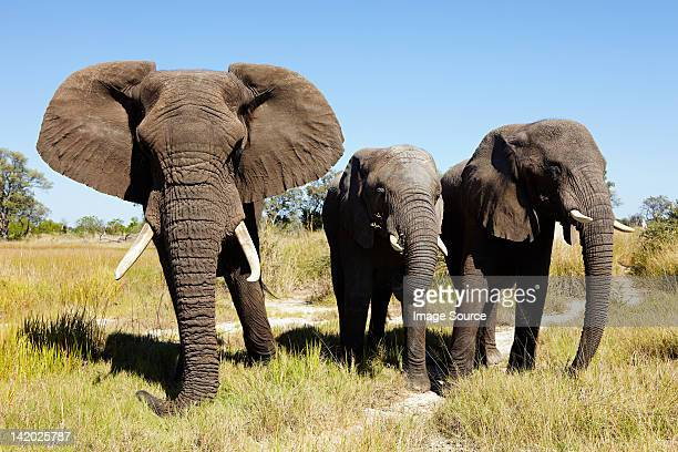 three african elephants, botswana, africa - botswana stock pictures, royalty-free photos & images
