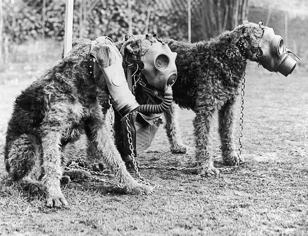 Three Airedale dogs wearing their special gas masks...