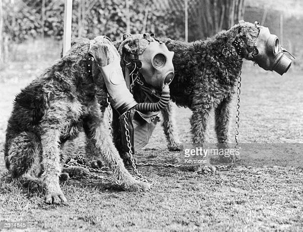 Three Airedale dogs wearing their special gas masks at a Surrey kennel They are being trained by Lt Col E H Richardson