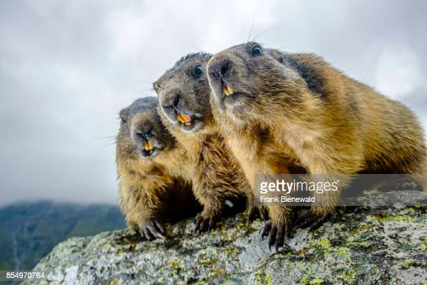 HEILIGENBLUT CARINTHIA AUSTRIA Three Alpine marmots are standing on a rock at KaiserFranzJosefsHöhe