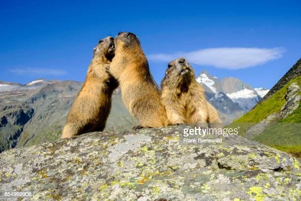 HEILIGENBLUT CARINTHIA AUSTRIA Three Alpine marmots are standing on a rock the mountain Grossglockner in the distance at KaiserFranzJosefsHöhe