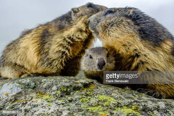 HEILIGENBLUT CARINTHIA AUSTRIA Three Alpine marmots two adult and a baby are standing on a rock at KaiserFranzJosefsHöhe