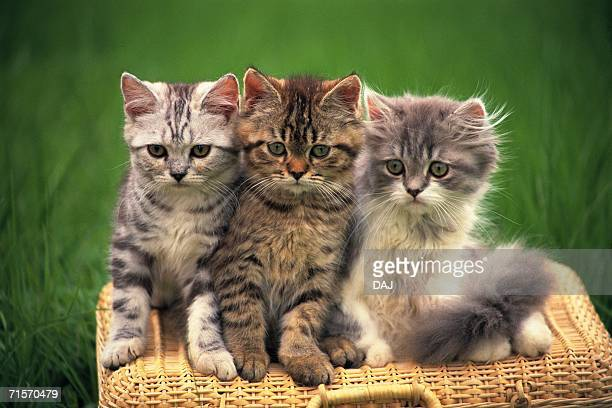 Three American Shorthair Cats Sitting on a Basket, Looking at Camera, Front View, Differential Focus