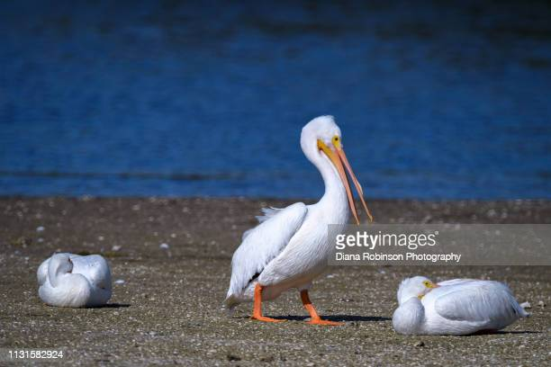 Three American White pelicans who migrated from Colorado resting on a sand bar at low tide at J.N. 'Ding' Darling National Wildlife Refuge, Sanibel Island, Florida