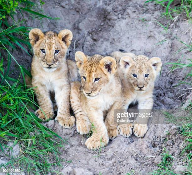 three amigos - lion cub stock photos and pictures